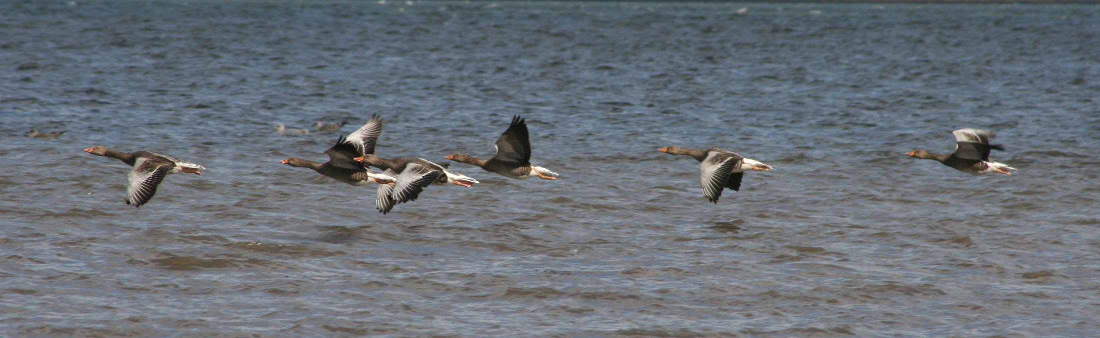 greylag flight